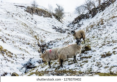 Swaledale sheep, a flock of pregnant ewes in snowy Spring weather.  Background hills and stream are covered in snow.  Ewes are facing downhill. Yorkshire Dales, UK, England. Landscape. Horizontal
