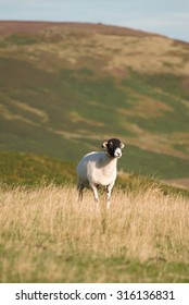 Swaledale sheep in the grass, heather moor background