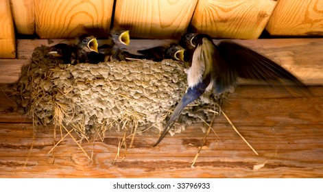 Swallow and baby birds in a nest