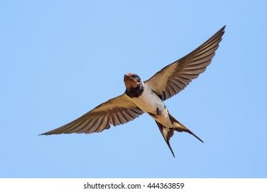 Swallow (bird) in flight over blue sky.