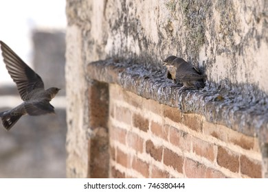 Swallow bird (Hirundo rustica) feeding its own chicks.