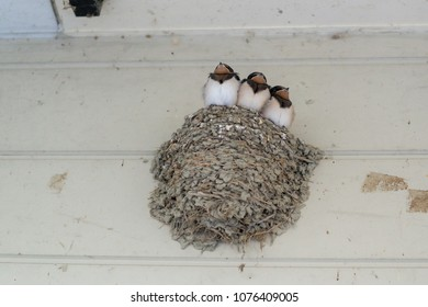 Swallow chick Japan