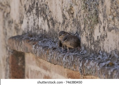 Swallow chicks (Hirundo rustica) waiting to be fed.