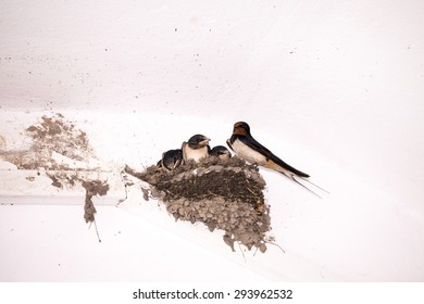 Swallow cubs in the nest
