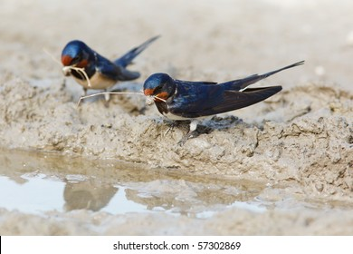 Swallow, Hirundo rustica. Collecting mud pellets for the nest.