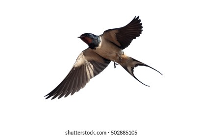 Swallow, Hirundo rustica, single bird in flight against blue sky,    Portugal, March 2010