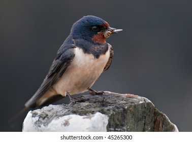 Swallow with hoverfly in beak