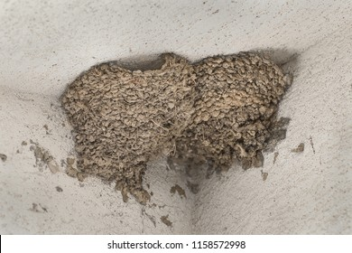 Swallow nests in the corner of house walls. Nest of cliff swallows under the roof. Sitting of chimney swallow. Nest of barn swallow. Nest  of chimney swallow. Roost of chimney swift.