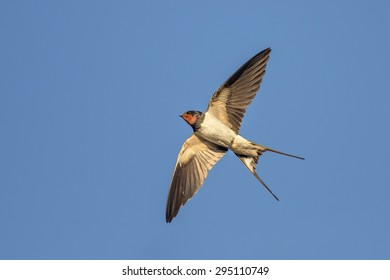 Swallow on the blue sky background.