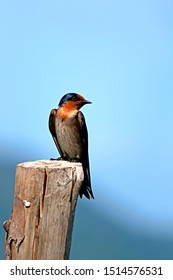 The swallow on the wooden stub