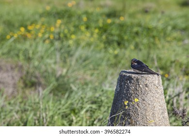 Swallow resting over concrete post after migration with first springtime flowers field as background