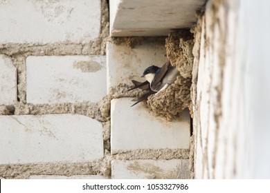 Swallow sits in a nest under the roof of a multi-storey building