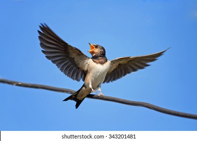 the swallow sits with an open beak with outstretched wings