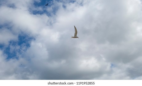 Swallow Sterna hirundinacea, in the foreground, flying alone, photographed during a tour of the fishermen's beach of Itaipu, Niterói, Rio de Janeiro, Brazil.