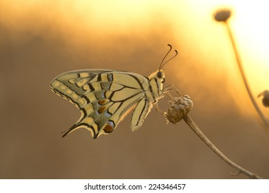 swallow tail butterfly at the sunset fire colors