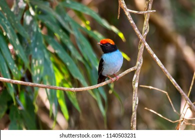 Swallow tailed Manakin photographed in Domingos Martins, Espirito Santo, Southeast of Brazil. Atlantic Forest Biome. Picture made in 2013.