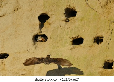 Swallows in caring of Babies in babies nests in hole of sand