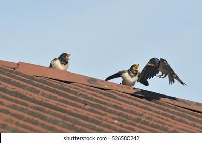 Swallows feeding season