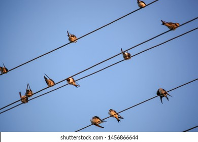 The Swallows, Martins And Saw-Wings, Or Hirundinidae, Are A Family Of Passerine Birds Found Around The World On All Continents, Including Occasionally In Antarctica.