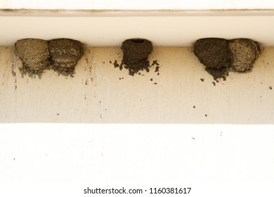 Swallows' nests under the roof of a bus stop. Nests of urban swallows from the earth and mud. Swallows nest under the roof of the bus stop.