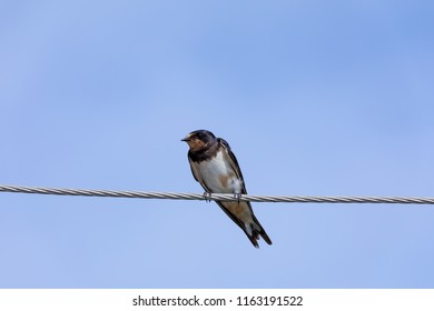 swallows on wire (Hirundinidae)