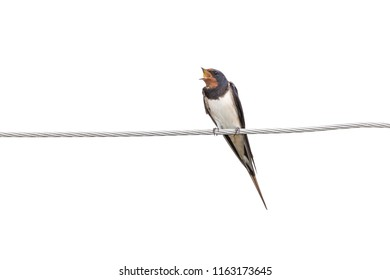 swallows on wire (Hirundinidae) isolated on white