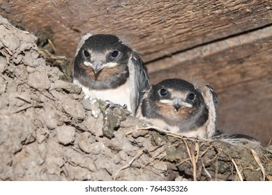 swallows, swallow in the nest, black swallows