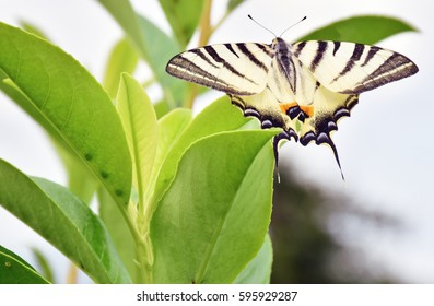 The swallowtail, beautiful butterfly specimen, shows its colors
