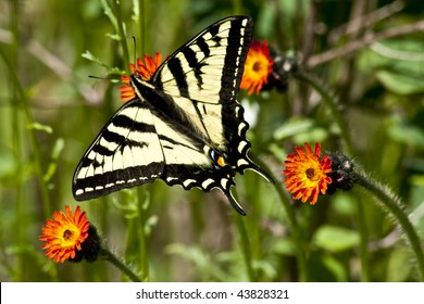 SwallowTail Butter Fly, Papilio Rutulus