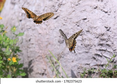 Swallowtail butterflies dancing in the air in front of the wall beside the flowerbed