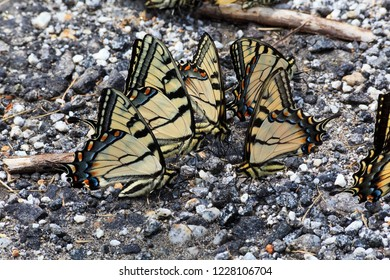Swallowtail Butterflies Mud-Puddling on Gravel Road to Absorb Salt and Minerals