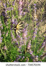 Swallowtail butterfly is collecting nectar on Lavender flowers.