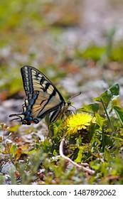 Swallowtail Butterfly feeding nectar from dandelion flower.