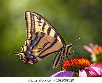 Swallowtail Butterfly feeding on a purple cone flower