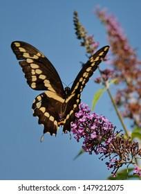 A swallowtail butterfly in the garden.
