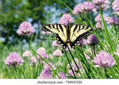 Swallowtail Butterfly in the Garden. Yellow and Black Wings Spread Open, Facing Up on Chive Plants with Purple Flowers