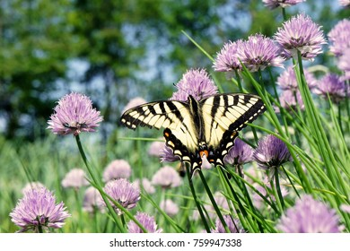Swallowtail Butterfly in the Garden. Yellow and Black Wings Spread Open, Facing Slightly Left on Chive Plants with Purple Flowers