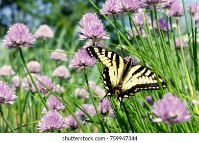 Swallowtail Butterfly in the Garden. Yellow and Black Wings Spread Open, Facing Right on Chive Plants with Purple Flowers