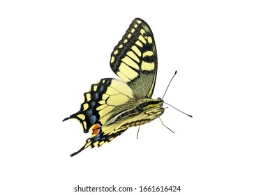 swallowtail butterfly isolated on white. bright colorful butterfly close-up