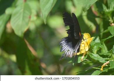 Swallowtail butterfly on a blooming yellow flower.