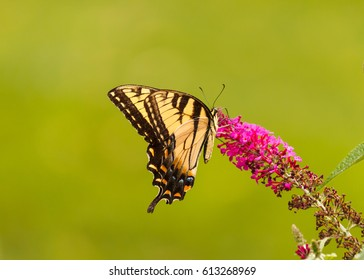 Swallowtail Butterfly on Butterfly Bush bloom.