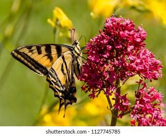 Swallowtail Butterfly on Flower.
