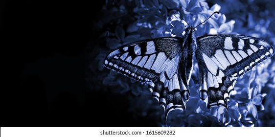 Swallowtail butterfly on lilac flowers. Deep blue color. 2020 trend color. copy spaces