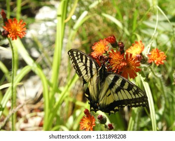 Swallowtail butterfly on a milkweed plant