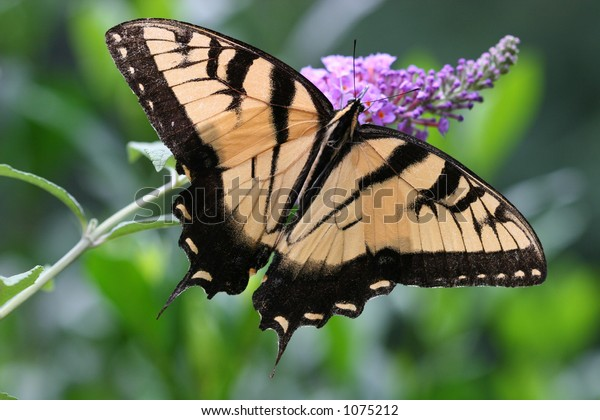 Swallowtail Butterfly on Purple Butterfly Bush