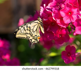 Swallowtail butterfly on the red flower Phlox This is one of the most elegant butterflies of Europe.