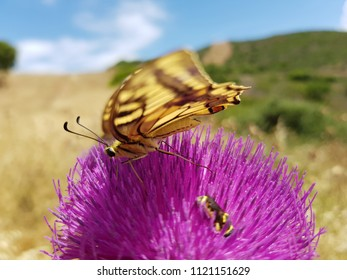 Swallowtail butterfly, on thistle flower