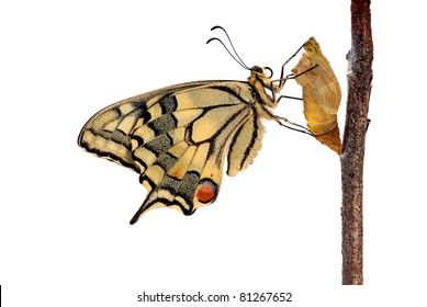 Swallowtail butterfly (Papilio machaon) on its chrysalis