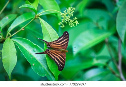 A swallowtail butterfly rests on a leaf in Belize.