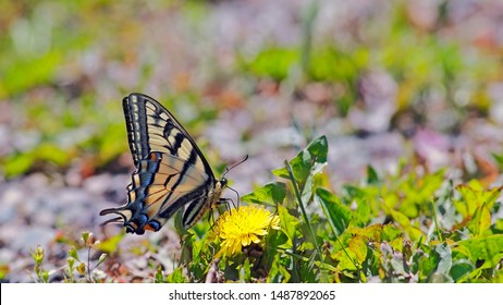 Swallowtail Butterfly sitting on yellow dandelion flower, feeding nectar. panoramic image.